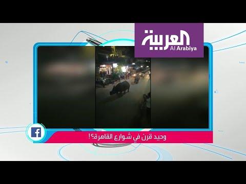 العرب اليوم - شاهد: حقيقة فيديو صادم لوحيد القرن يتجول في القاهرة