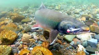 Alaska Fly Fishing - Dolly Varden