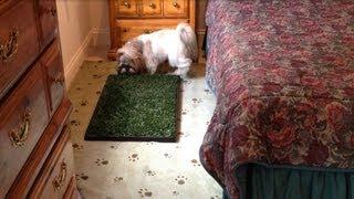 Shih Tzu dog Lacey 🐾 | Using indoor potty bathroom | Odor free