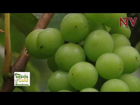 SEEDS OF GOLD: Smarter way to earn from apples and grapes
