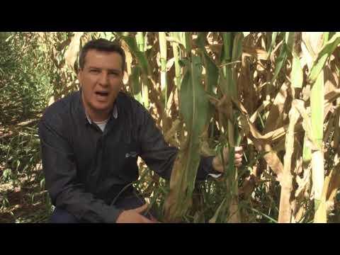 Consórcio milho e braquiária