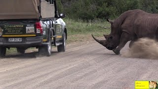 Angry Rhino Bull Attack Cars In Kruger Nat. Park