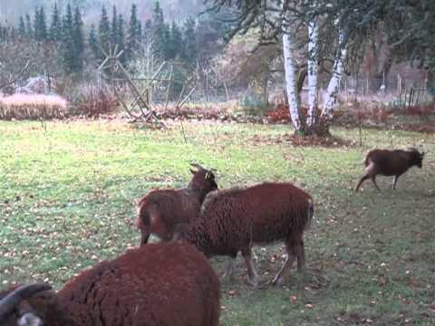 Soay Schafe  Flemender Bock in der Brunftzeit