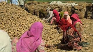 Potato Harvesting, Haryana