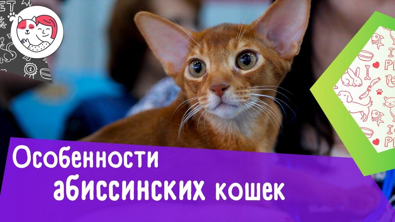 6 интересных фактов об абиссинских кошках