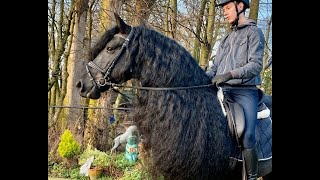 Sybe, 7 Yr Old Friesian Horse For Sale At Blacksterlingfriesians.com. Friesian For Sale!