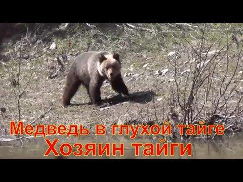 Медведь в глухой тайге Хозяин тайги медведи медвежата медвежонок бурый тайга лес пестун лончак охота