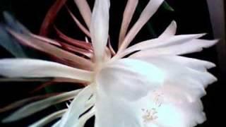 Night blooming cereus: Dance of the stamens.