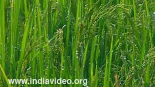 Kavalam - Land of paddy fields and backwaters