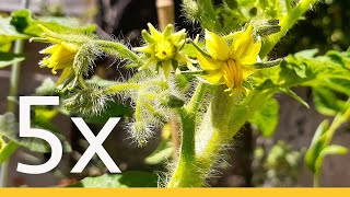 How To PRUNE A TOMATO To GROW 5X MORE Tomatoes, NOT LEAVES & Branches | STEP By STEP