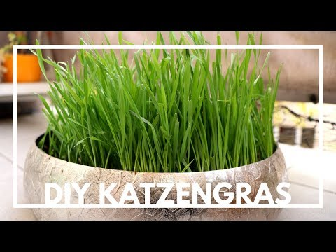 DIY Katzengras einfach selber machen / ziehen | Weizengras