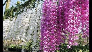 Beautiful Orchid Flowers - Beautiful Orchid Gardens In The World