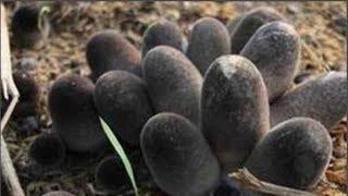Sáng sớm thấy một ổ trứng đen kì lạ ngoài vườn, anh chàng tò mò nhặt về mới biết danh tính của nó