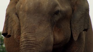 Elephant Mourning  | BBC Earth