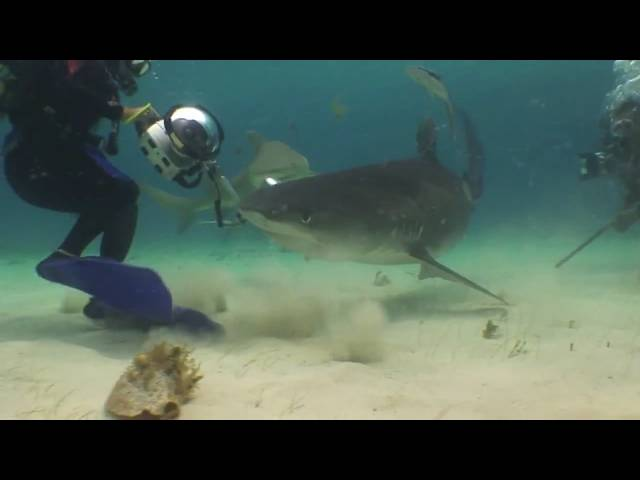Tiger Shark Eats Video Camera... While it's running.