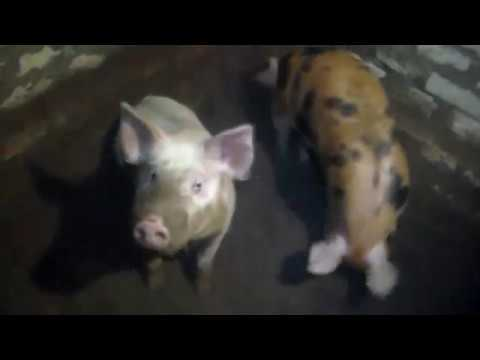 Все плюсы и минусы мясной породы свиней против обычных сальных.