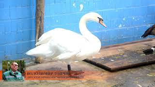 В ГСЧС напомнили николаевцам, что «лебеди — умные птицы», и не надо их спасать с замерзших водоемов