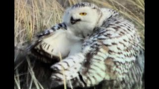 Sneeuwuilen op Vlieland - Snowy owls in the Netherlands!