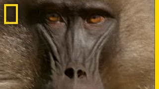 Gelada Baboons | National Geographic thumbnail
