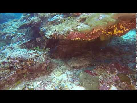 wobbegong shark (...footage by Ralf Lipphardt)