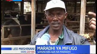 Ng'ombe 300 wakufa Bahati kaunti ya Nakuru kutokana na maradhi ya mifugo