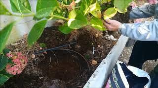 Travaso pianta di ortensie seconda parte