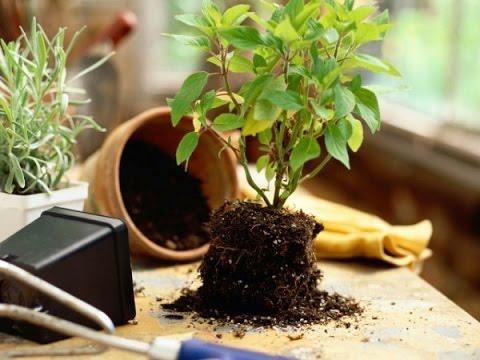 Как ПРАВИЛЬНО пересадить комнатное растение!?\\Transplanting plants\\ Пересадка растений\\ ksu66a