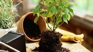 Как правильно пересадить комнатное растение видео