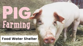 Pig Farming... What you for raising pigs - Waterers, Feeders and Housing