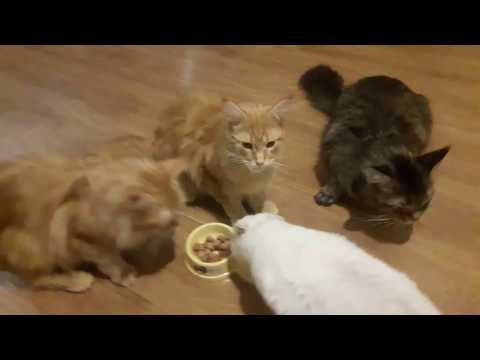 VLOG у кошки начинается мастит. срочное лечение.