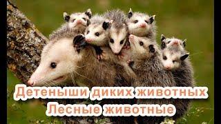 Лесные животные - Детеныши диких животных