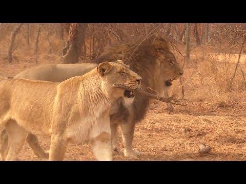 Crazy Lion Plays Fetch Like a Dog!