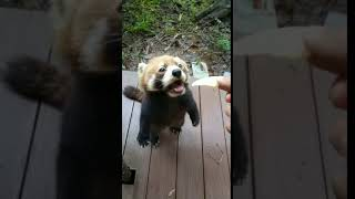 The red panda is very anxious about can not touching the food