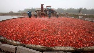 Сбор клюквы в ОАО «Полесские журавины»