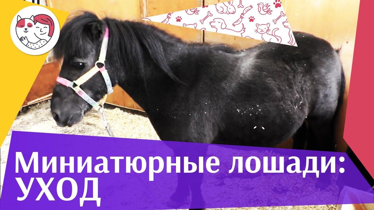 4 секрета ухода за мини-лошадьми на ilikepet