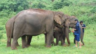 Khum Min the elephant is welcomed into the free herd by a very forward female!