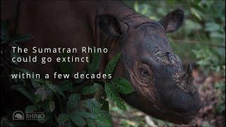 Sumatran Rhinos are Facing Extinction