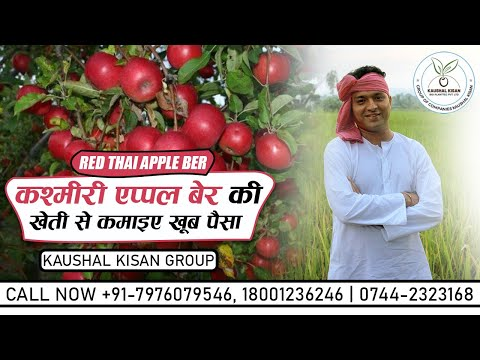 Thai Red Apple Ber Plant