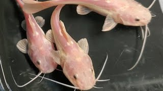 YOU NEVER SEEN SOME OF THESE FISH BEFORE!!!! PHANTOM REDTAIL CATFISH