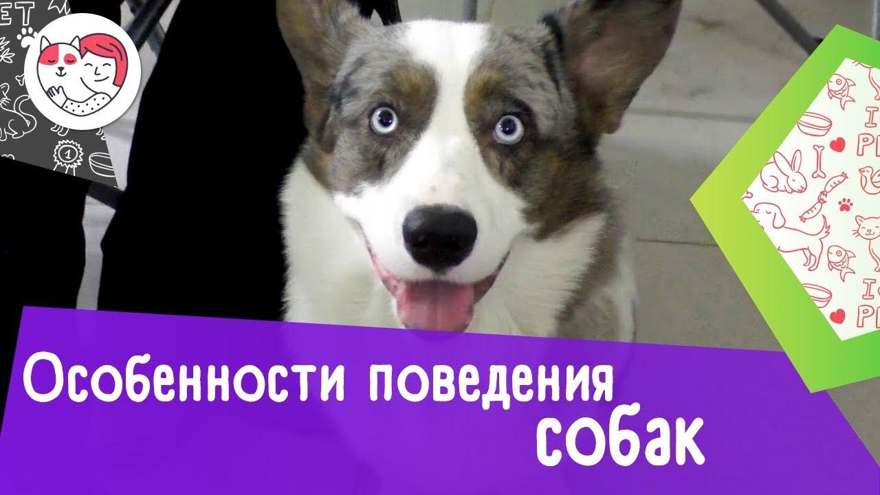 5 интересных особенностей поведения собак и их расшифровка