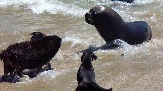 Смотреть онлайн Морские львы и собаки что-то не поделили