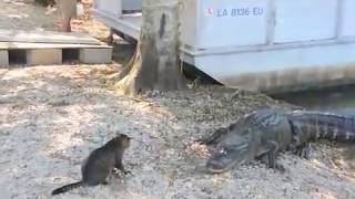 Vicious Gators attacked by Mugsy the Cat