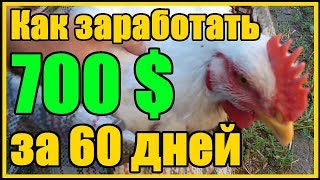 Технология выращивания бройлеров 700 долларов за 60 дней на 100 бройлерах породы Кобб - 500