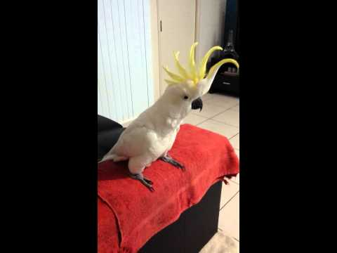 "Cockatoo dancing to ""Happy"" by Pharrell Williams."