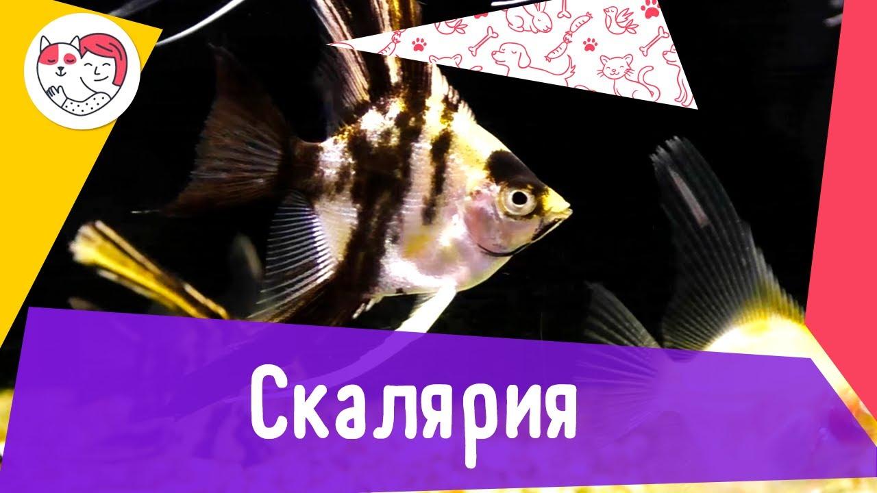 Аквариумная рыбка скалярия. Особенности. Уход.