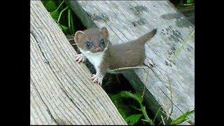 LASICA MALA / WEASEL /Ove životinje imaju velike crne oči i velike okrugle uši.