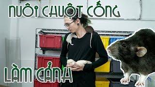Nuôi CHUỘT CỐNG kinh dị làm cảnh - Pet RAT care   WILDVN TV