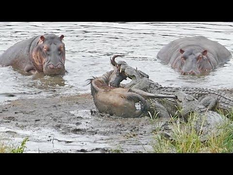 Бегемоты спасли антилопу из зубов крокодилов в Южной Африке