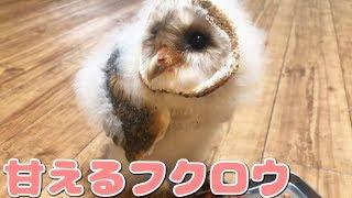 甘えてエサを催促するフクロウの赤ちゃんメンフクロウ