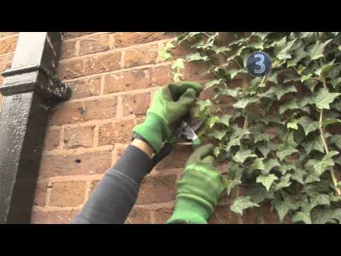 How To Remove Ivy from Trees and Brickwork